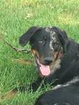 orus, chien assistant vétérinaire